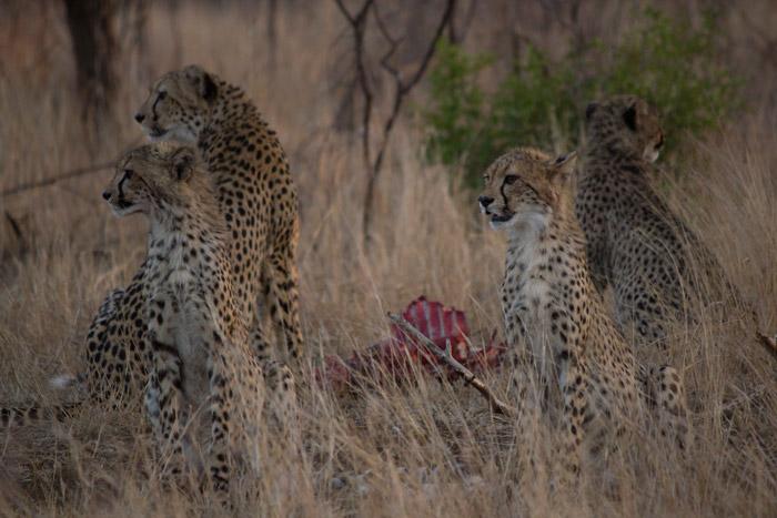 cheetah-family