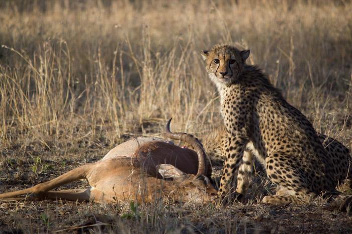 cheetah-impala-carcass
