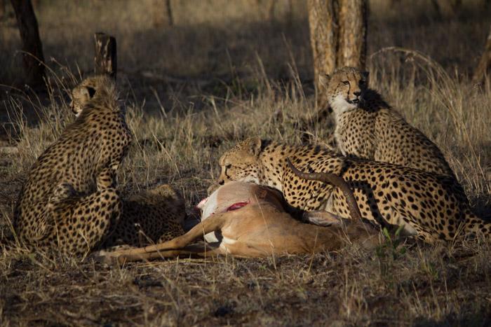 cheetah-impala-kill