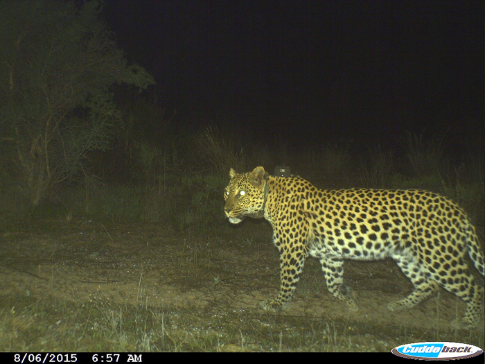Crystal the Cape mountain leopard