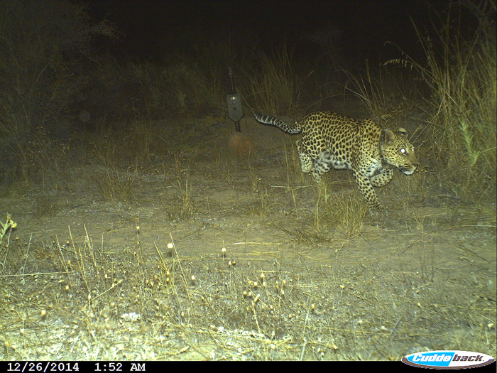 A Cape mountain leopard named crystal runs past the remote cameras