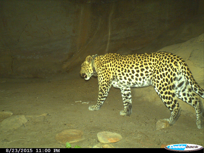 An elusive Cape mountain leopard named Crystal