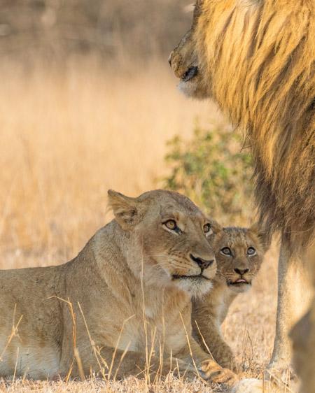 cub-and-its-parent