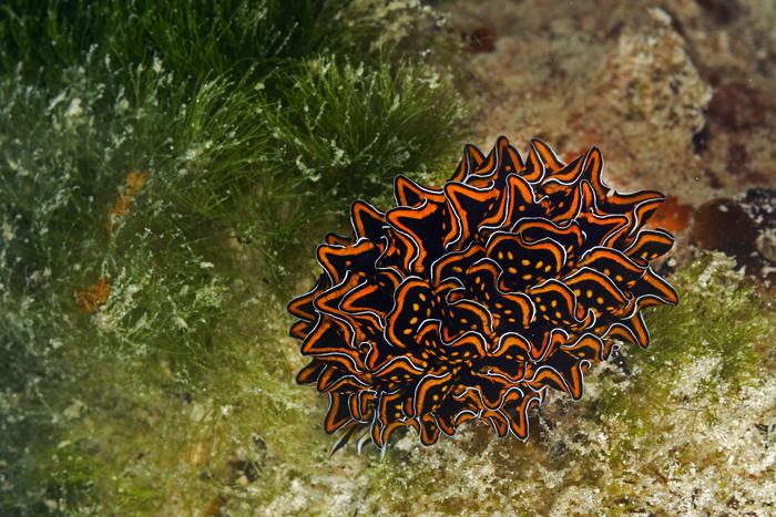 Cyerce nigracans3 Zanzibar