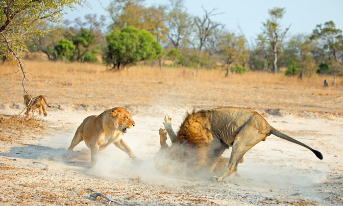 dominate-male-attacking-lion-cubs