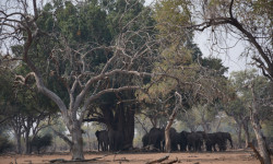 elephant-herd-shade-baobab