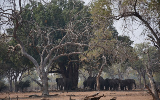 elephant-herd-shade-baobab