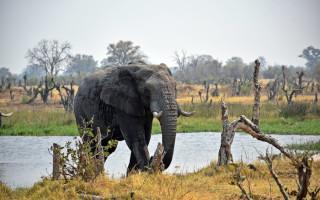 elephant-in-botswana