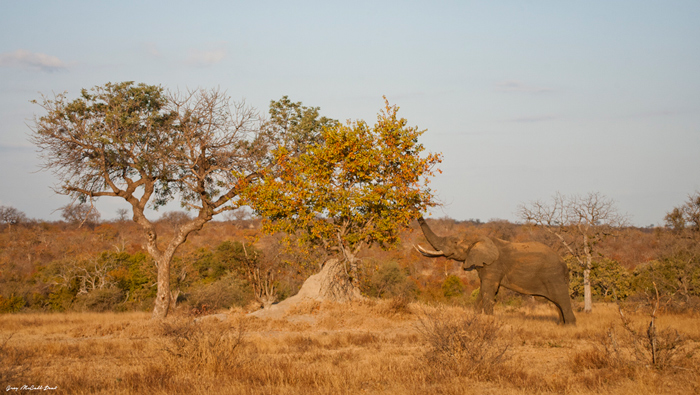 The many mopane trees that are scattered throughout the Timbavati make for amazing colours in golden sunlight and just add to the beauty of the reserve.