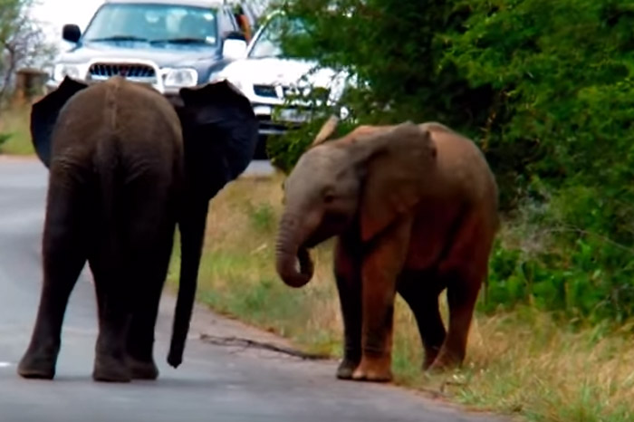 elephant-play-fighting-kruger