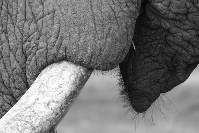 elephant-zimanga