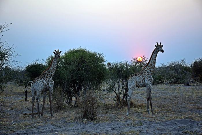 giraffe-at-sunset