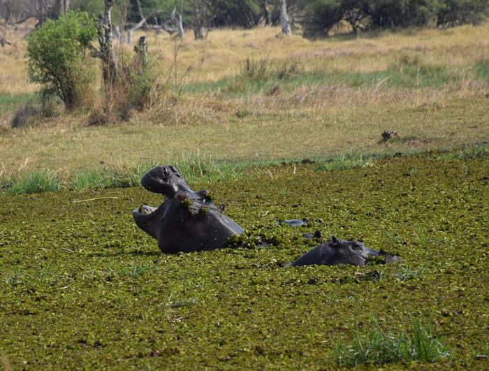 hippo-in-botswana