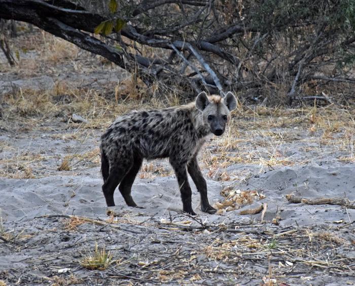 hyena-in-botswana