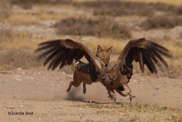 Jackal, vulture wrestl...