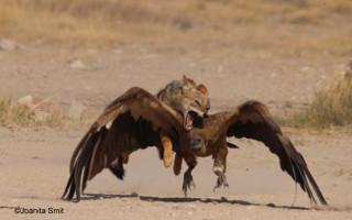 jackal-on-vultures-back