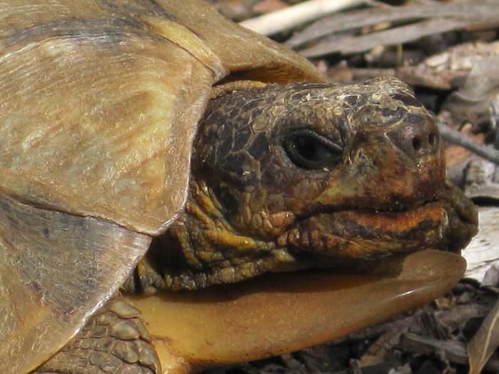 kirstenbosch-Angulate-Tortoise