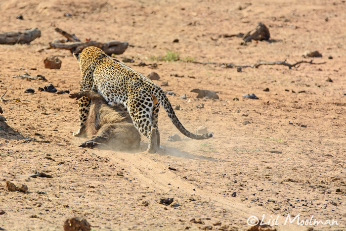 leopard-drags-off-warthog