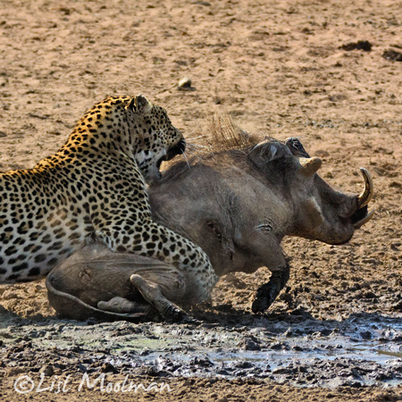 leopard-grabs-warthog