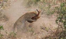 leopard-killing-steenbok-doran-goldstein