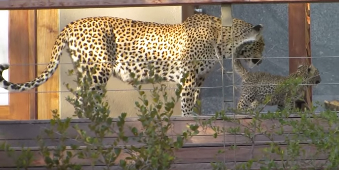 leopard-on-the-deck-in-the-kruger