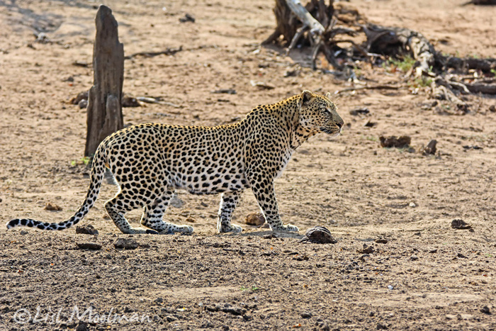 leopard-on-the-prowl