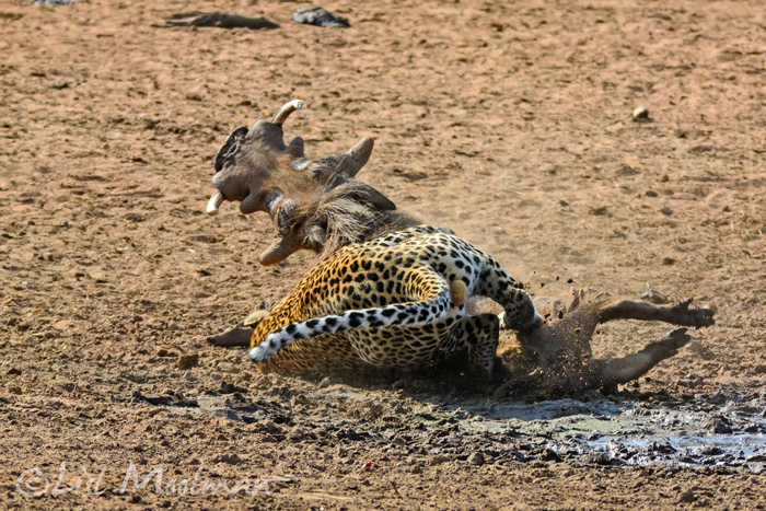 leopard-pounces-on-warthog