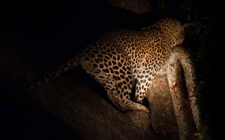 leopard-python-kill