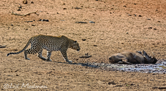 leopard-sneaks-up-to-warthog