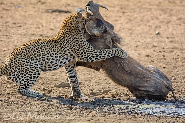 leopard-tackles-warthog