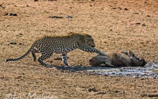 leopard-tests-his-prey