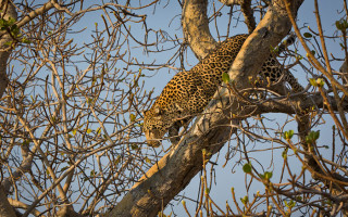 leopard-versus-lion-in-tree
