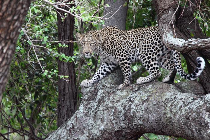 leopard-zimanga