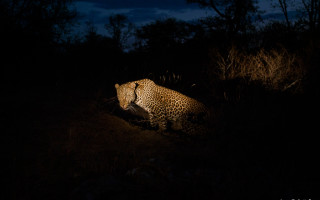 As night falls a male leopard sets off to patrol his territory after resting up for the day. Night time is the timethe cats are most active, another reason why it's my favourite time of day.