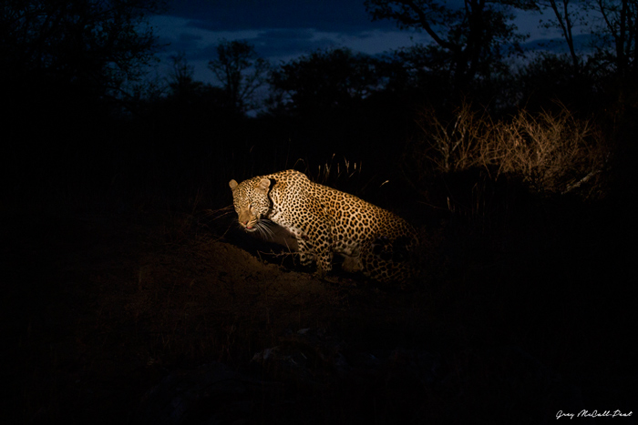 As night falls a male leopard sets off to patrol his territory after resting up for the day. Night time is the time  the cats are most active, another reason why it's my favourite time of day.