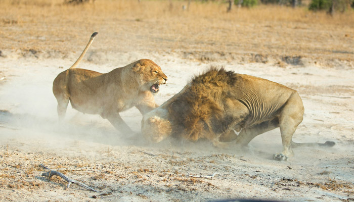 lion-attacking-cub