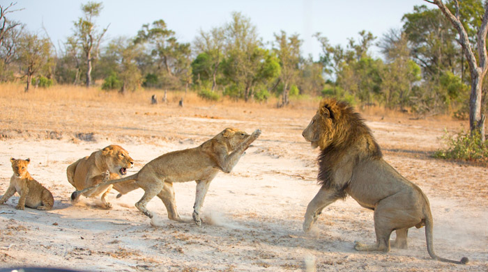 lion-attacking-young-female-cub