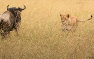 lion-cub-and-wildebeest-masai-mara