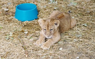 lion-cub-in-voluntourist-sector