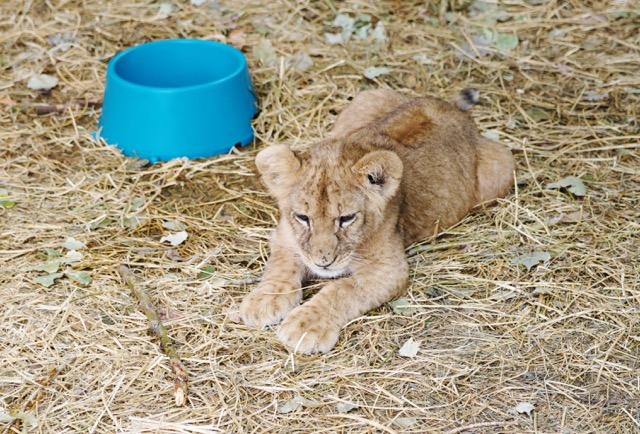 lion-cub-in-voluntourist-sector