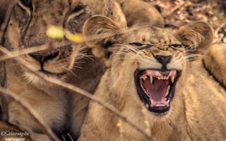 lion-cub-yawning
