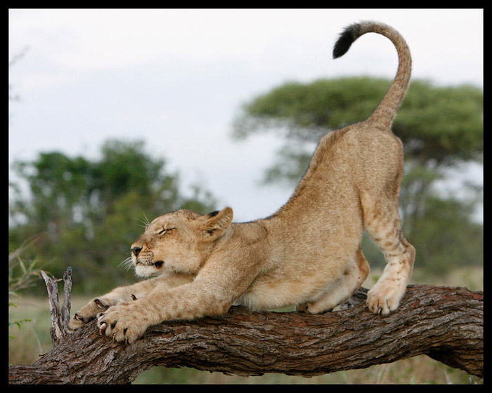 A lion cub stretching in the Kruger National Park ©Stuart Bassil