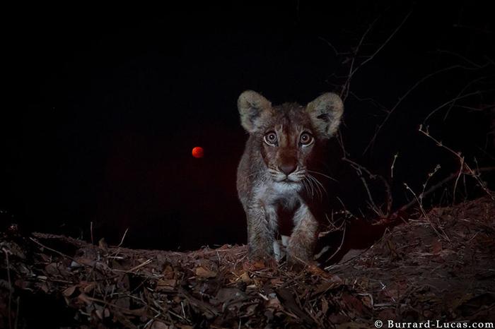 lion-eclipse