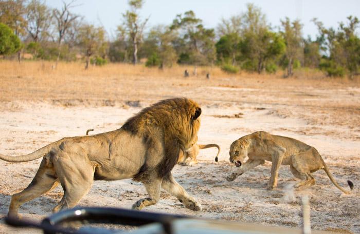 lion-fight-mala-mala