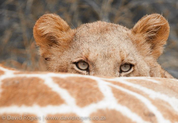 lion-giraffe-kill-madikwe