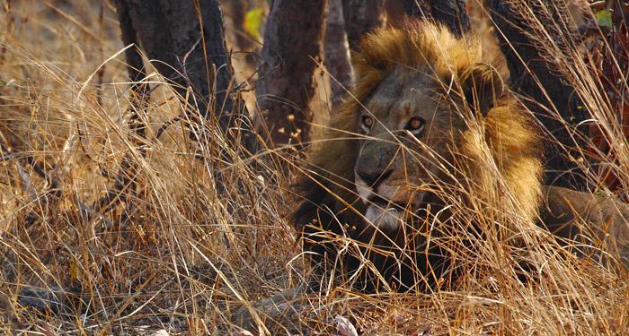 lion-male