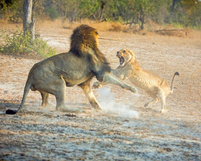 lion-versus-cub-fight