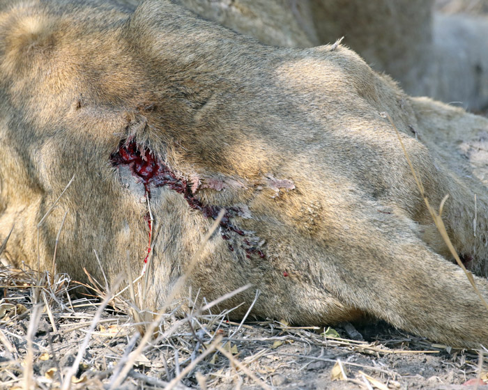 lion-wound