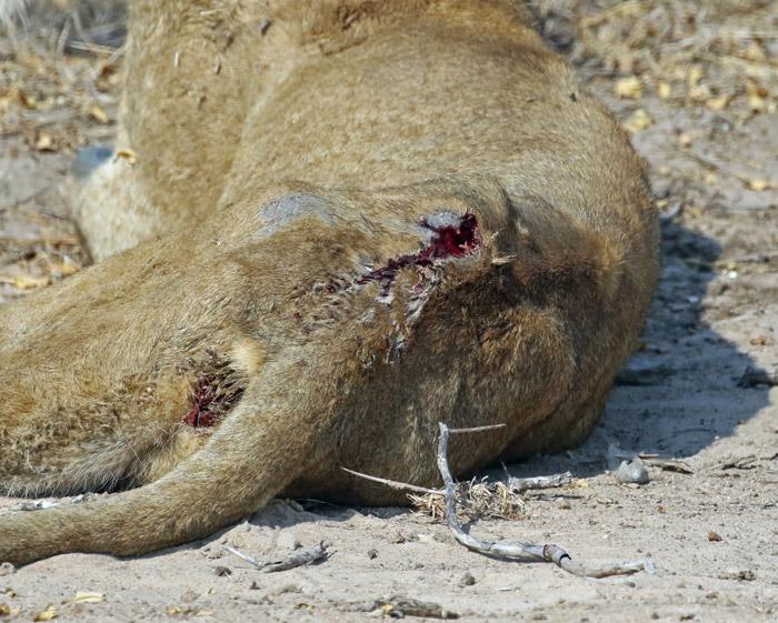lioness-injury