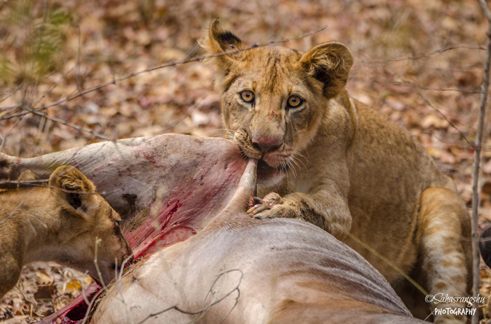 lions-eating-in-selous